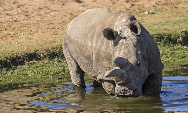 Nola the White Rhino (1974-2015)