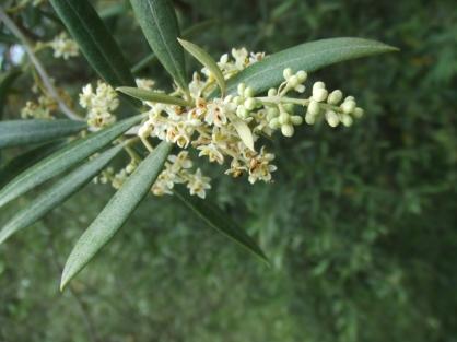 olive tree flower