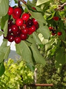 cherries hanging